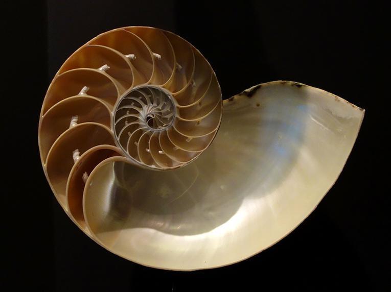 Nautilus pompilius kl